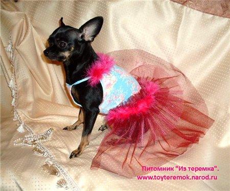 йоркширский терьер цена в украине. русский той терьер уход.